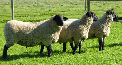 2013 Suffolk rams for sale