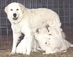 Maremma and pups